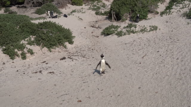 african penguin walking - cape town stock videos & royalty-free footage