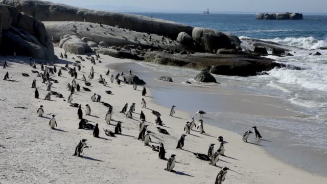 African Penguins at Boulders Beach near Simon's Town Western Cape South Africa The vulnerable species is the only kind of penguin found on the...