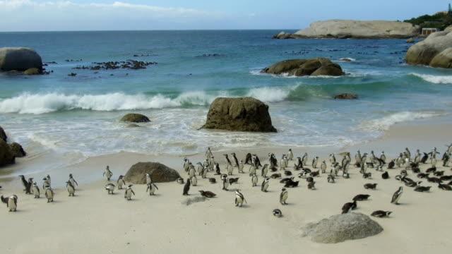 vídeos de stock, filmes e b-roll de pinguins africanos em boulders beach, áfrica do sul - características do litoral