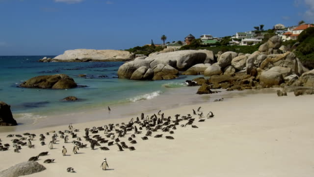 african penguins at boulders beach, south africa - south africa stock videos & royalty-free footage