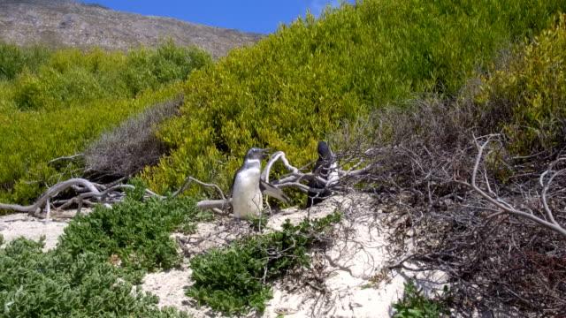 vidéos et rushes de manchots du cap à boulders beach, afrique du sud - oiseau qui ne vole pas
