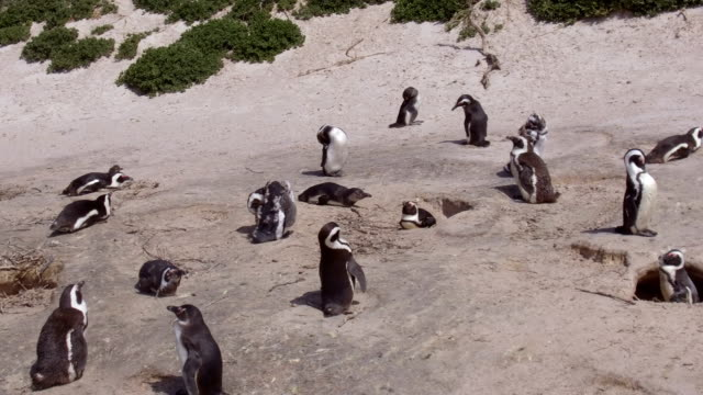 african penguins at boulders beach, south africa - boulder beach western cape province stock videos and b-roll footage