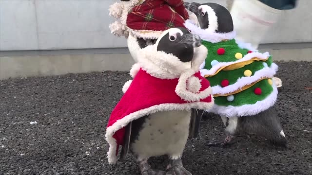 African penguins clad in Christmas themed costumes go for a stroll with their keeper at Hakkeijima Sea Paradise amusement park in Yokohama Japan