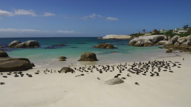 african penguins colony at boulders bay in south africa - boulder beach western cape province stock videos and b-roll footage