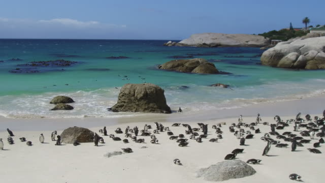 african penguins colony at boulders bay in south africa - wildlife reserve stock videos & royalty-free footage