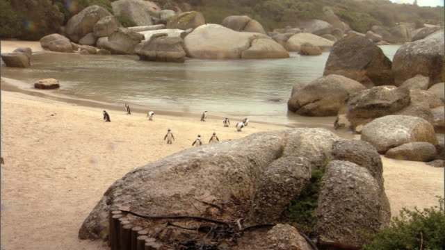 african penguins congregate on boulders beach. - boulder beach western cape province stock videos and b-roll footage