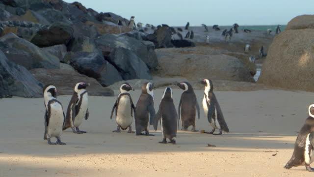 vidéos et rushes de pingouins africains sur la plage de boulders - le cap - oiseau qui ne vole pas