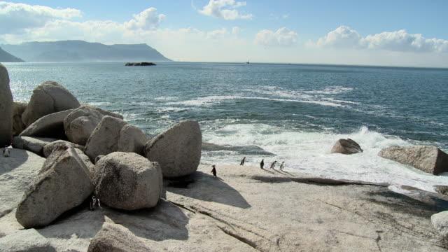 ws african penguins (spheniscus demersus) on boulders beach, false bay, western cape, south africa - boulder beach western cape province stock videos and b-roll footage
