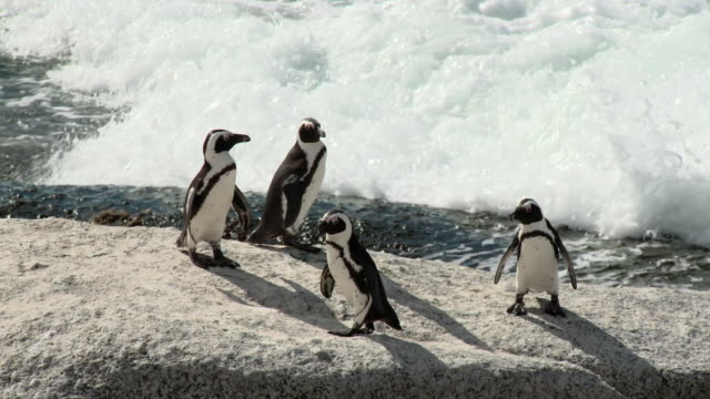 ms pan african penguins (spheniscus demersus) on boulders beach, false bay, western cape, south africa - boulder beach western cape province stock videos and b-roll footage