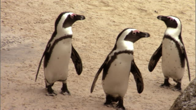 african penguins waddle along boulders beach, south africa. - boulder beach western cape province stock videos and b-roll footage