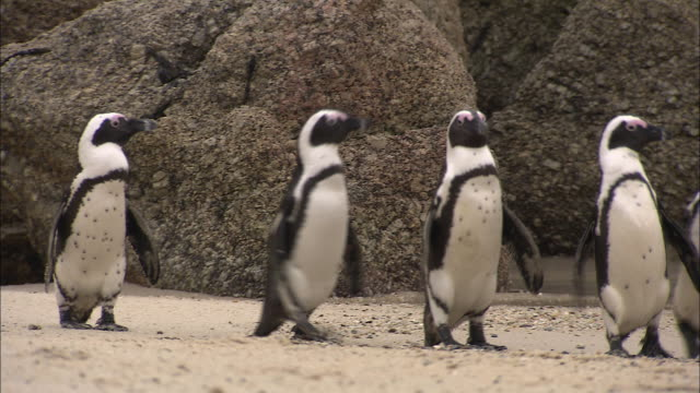 African Penguins waddle along Boulders Beach.