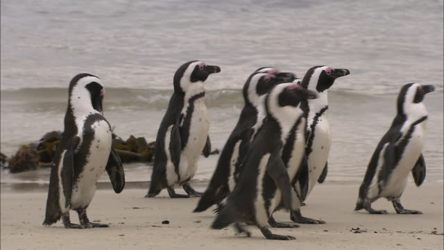 african penguins waddle on boulders beach. - boulder beach western cape province stock videos and b-roll footage