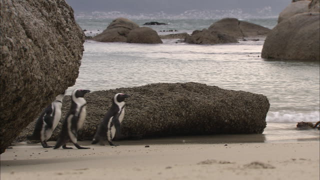 african penguins walk at the ocean's edge on cape town's boulders beach. - boulder beach western cape province stock videos and b-roll footage