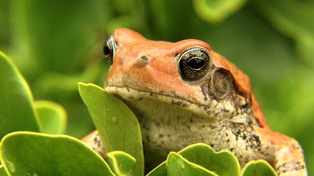 african red toad - retina stock videos and b-roll footage