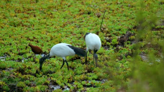African Sacred Ibis & African Jacana Birds Maasai Mara  Kenya  Africa