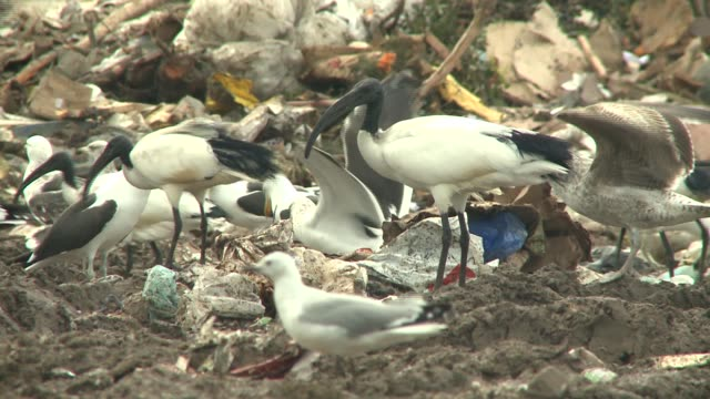 african sacred ibises and seagulls gather on piles of garbage at a landfill in south africa. available in hd. - bulldozer stock videos and b-roll footage