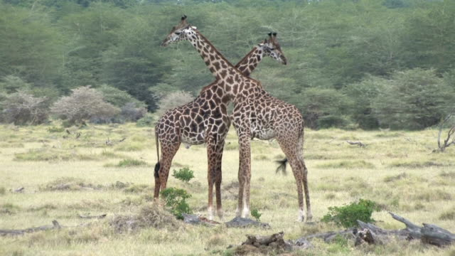 african safari giraffe neck dance - two animals stock videos & royalty-free footage