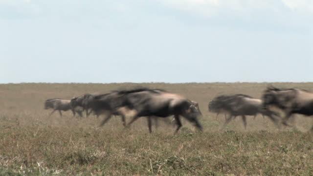 african safari wildebeest migration in the serengeti - stampeding stock videos & royalty-free footage