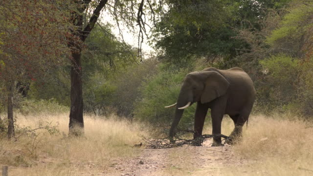 African Safari Wildlife - elephant