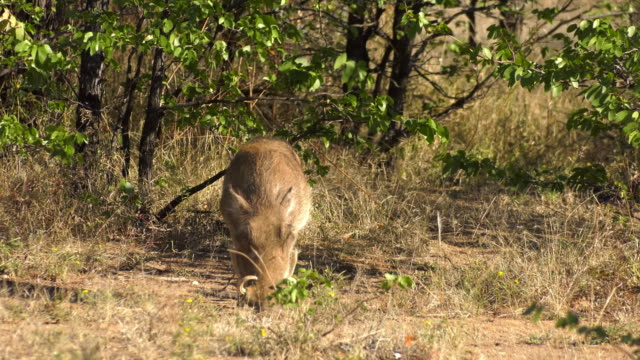 vídeos de stock, filmes e b-roll de african safari wildlife - javali africano