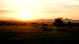 African Savannah Landscape At Sunset With Acacia Trees And Grazing Buffalo