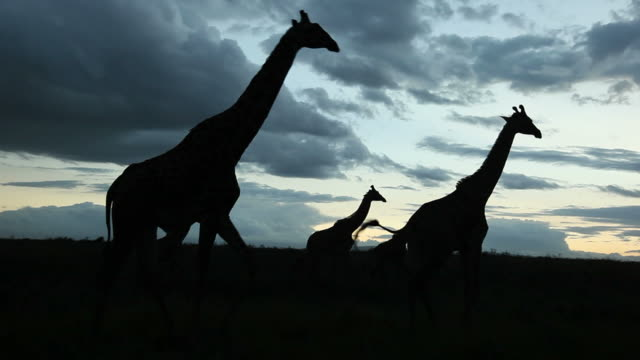 african scene: giraffes crossing frame - dramatic sky stock videos & royalty-free footage
