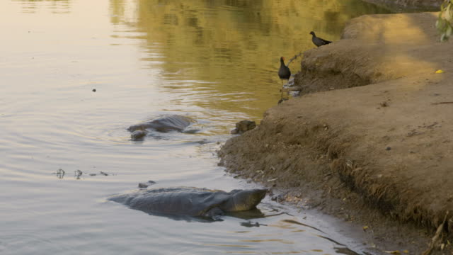 african softshell turtle 6 - tortoise stock videos & royalty-free footage
