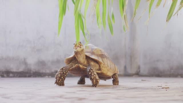 4k african spurred schildkröte isst blätter - kauen stock-videos und b-roll-filmmaterial
