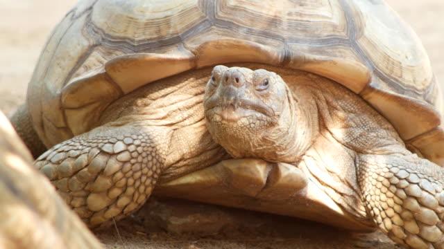 afrika sporrade sköldpadda - jätte uppdiktad figur bildbanksvideor och videomaterial från bakom kulisserna