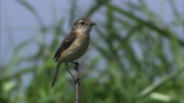 african stonechat (saxicola torquata)  on sarobetsu coast  - birdsong stock videos & royalty-free footage