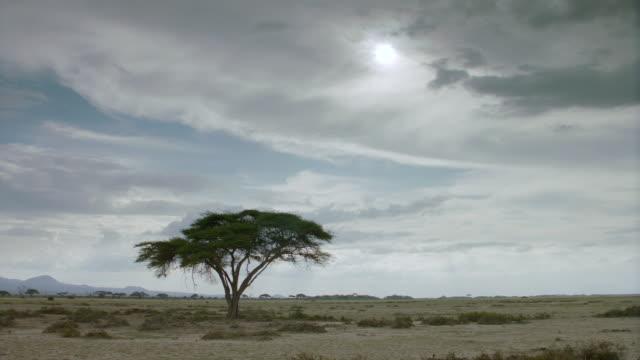 ws african tree on savanna landscape / kenya - single tree stock videos & royalty-free footage