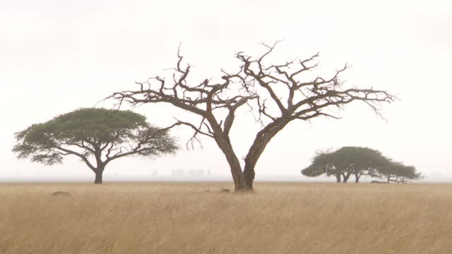 WS African trees on savanna / Lindberg, North west, South Africa