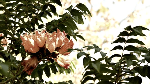 african tulip tree flower - fire alarm stock videos & royalty-free footage