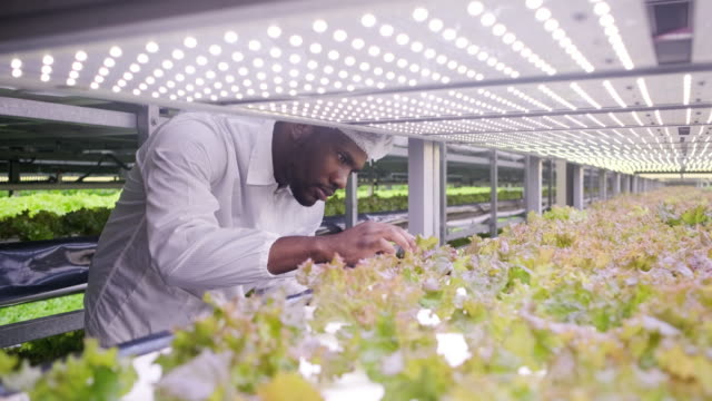 vídeos de stock e filmes b-roll de african vertical farmer examining indoor crop development - interior