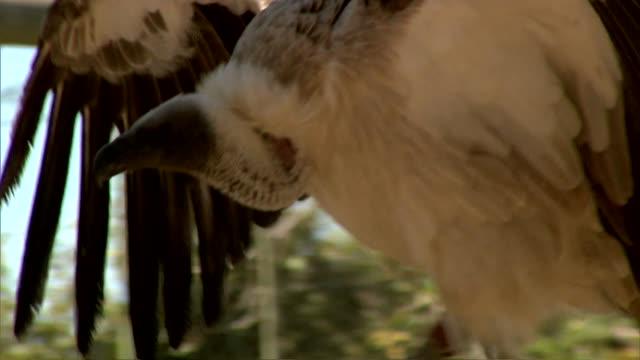 stockvideo's en b-roll-footage met african vulture - dierlijke mond
