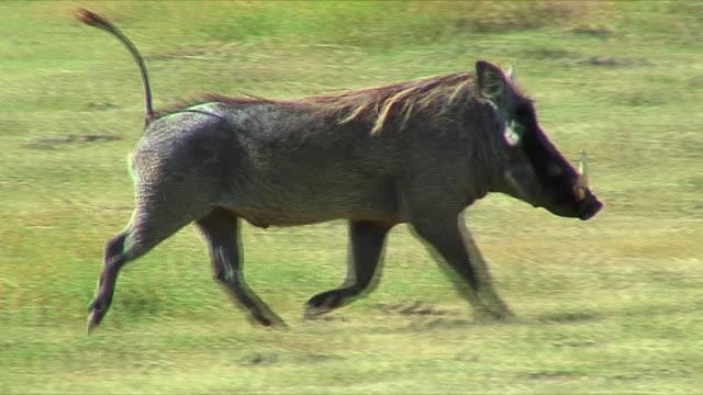 vídeos de stock, filmes e b-roll de ws pan african warthog trotting / serengeti, tanzania - javali africano