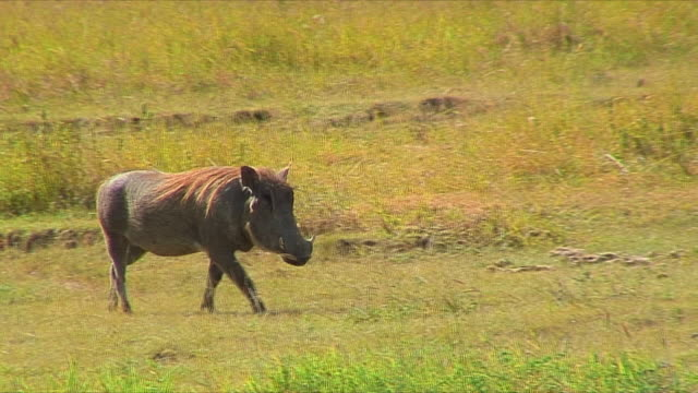 vídeos de stock, filmes e b-roll de ws pan african warthog walking / serengeti, tanzania - javali africano