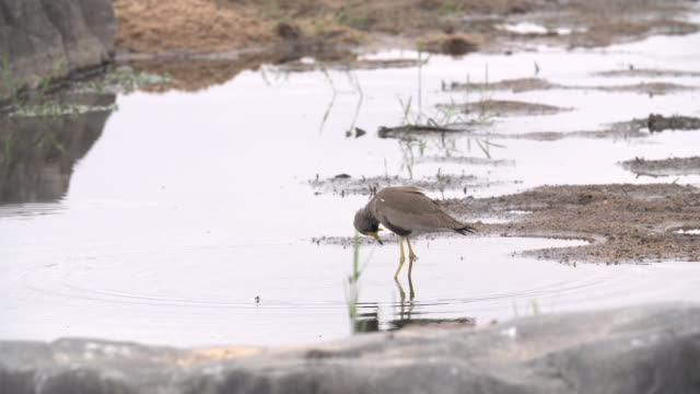 african wattled lapwing bathing and drinking in small pond with ripples, kruger national park, south africa - mpumalanga province stock videos and b-roll footage
