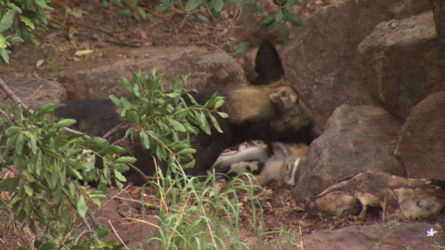 African Wild Dog (Lycaon pictus) adult tries to keep prey away from pups; with audio, Kenya