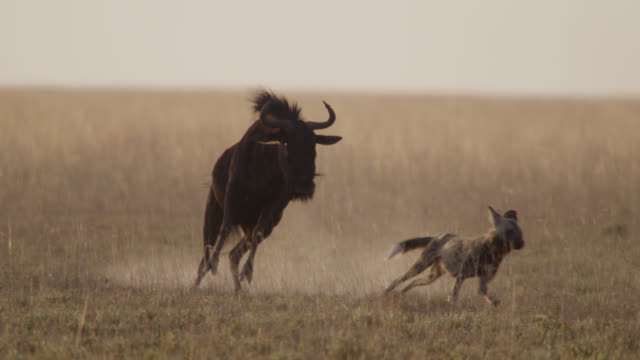African wild dog (Lycaon pictus) attacked by wildebeest on savannah, Zambia