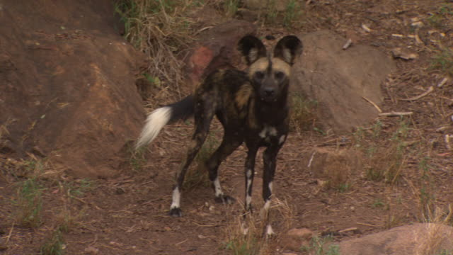 African Wild Dog (Lycaon pictus) barking; with audio, Kenya