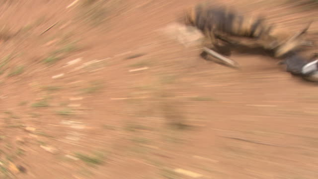 African Wild Dog (Lycaon pictus) chasing rabbit; with audio, Kenya