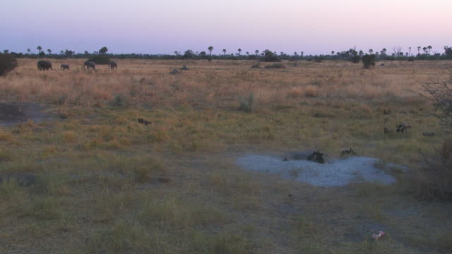 ha ws african wild dog den with pups and african elephants passing in background - alertness stock videos & royalty-free footage