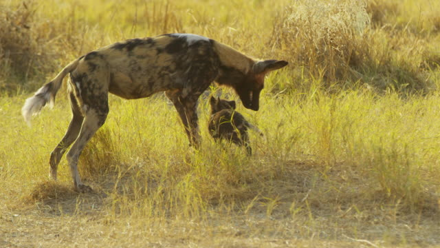 ms african wild dog feeds pups in grass by den then moves off - group of animals stock videos & royalty-free footage