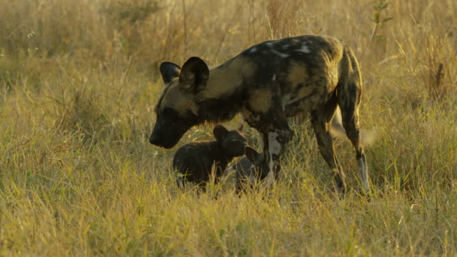 ms pan african wild dog greeting pups in long grass - medium group of animals stock videos & royalty-free footage