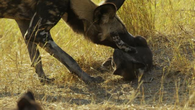 cu african wild dog grooming pup lying on its back - kleine gruppe von tieren stock-videos und b-roll-filmmaterial