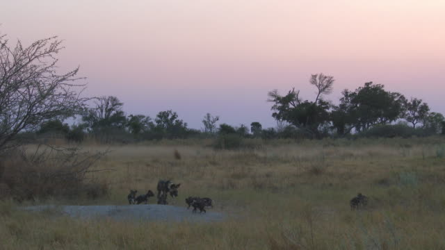 ws african wild dog joins pups at den - medium group of animals stock videos & royalty-free footage