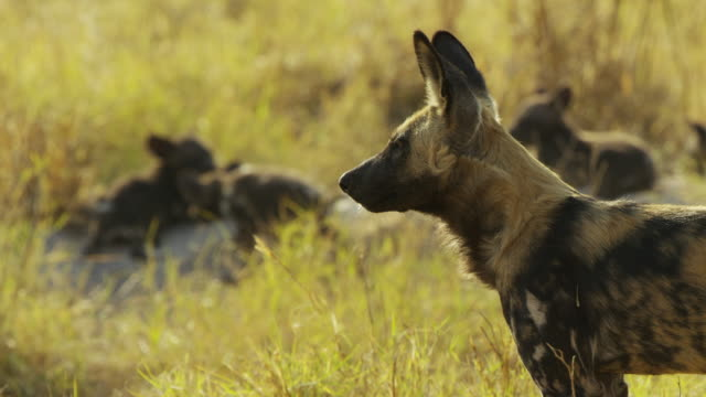cu african wild dog looking around intently r/f to pups in background - medium group of animals stock videos & royalty-free footage
