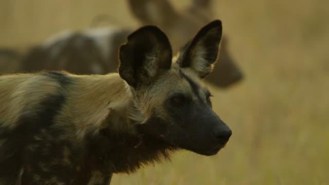 vídeos y material grabado en eventos de stock de cu african wild dog looks around and yawns - grupo pequeño de animales