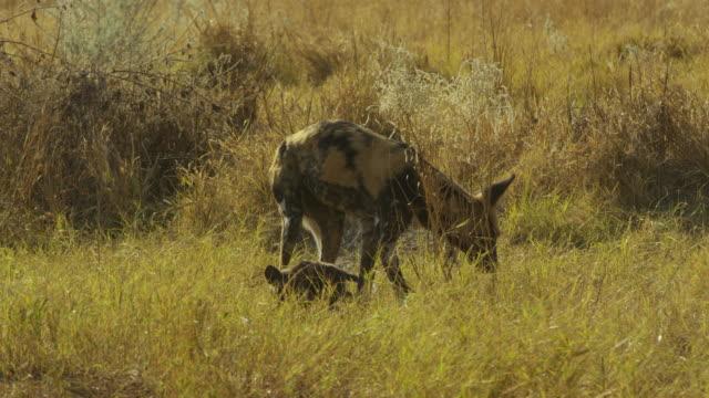 african wild dog looks around then greets pups  at den - kleine gruppe von tieren stock-videos und b-roll-filmmaterial